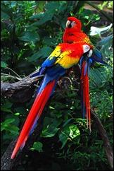 GUYA Ara_macao_-_two_at_Lowry_Park_Zoo