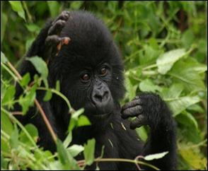 RwandaGorillas7