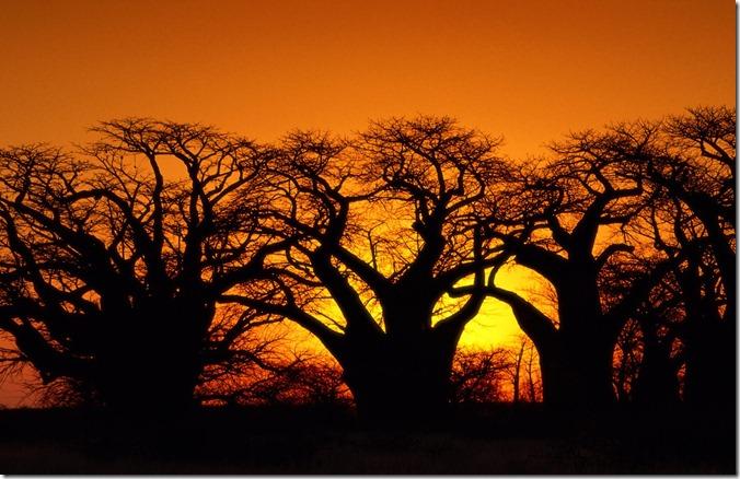 BOT Baobob%20Trees,%20Kalahari%20Desert,%20Botswana