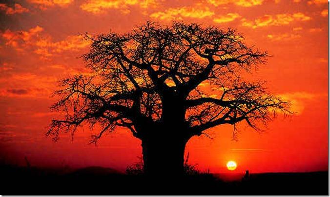 TAN baobab