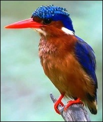 GA kingfisher