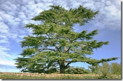 libano-CEDAR5