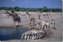 namibia Horde-Giraffe-Etosha-National-Park-at-Namibia
