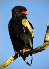Bateleur-eagle-in-Kgalagadi