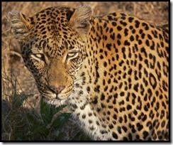 SUD leopard_in_western_kruger