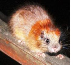 Ratón arbóreo de Santa Marta (Santamartamys rufodorsalis).